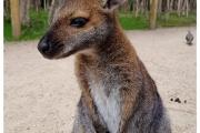 Australia - Melbourne  jedną z atrakcji są kangury